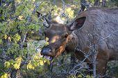 Elk Female