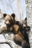 stock photo of bear-cub  - Two black bear cubs rest in a tree in the north woods of Minnesota - JPG