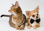 Cat And Chihuahua In Studio On A Neutral Background