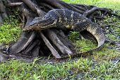 The Water Monitor Or Varanus Salvator Is A Large Species Of Monitor Lizard. poster