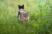 A Gray Cat Walks Among The Grass And A Second Black Cat Sits At The Back. The Grass Is Green. Light  poster