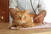 picture of emergency treatment  - Veterinarian listening to cat