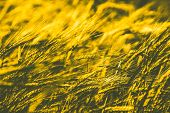 Toned Image Golden Ripe Wheat Field Agricultural Landscape, Art Rye Field,  Wheat Ripe Yellow Ears o poster