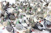 Flock of pigeons