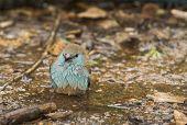 Blue-breasted Cordonbleu