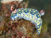 Nudibranch hypselodoris obscura