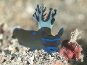 Nudibranch tambja morosa