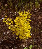 A Small Bush Of The Golden Barberry