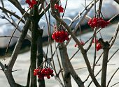 Red Berries Of A Guelder-rose