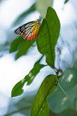 Colorido tropical mariposa pintado Jezabel, Tailandia