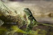 Eastern Water Dragon in the water