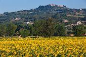 Sunflowers at sunrise, Umbrian Landscapes, Italy