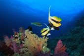 Pair of Red Sea Bannerfish on coral reef
