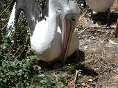Mother Pelican And Egg