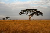 Staggered Acacia Trees And The African Savannah