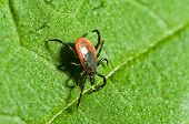 foto of ixodes  - Castor bean tick on the leaf - JPG