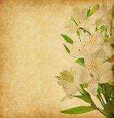 Old paper background with alstroemeria