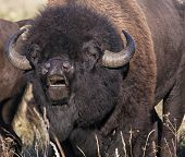 stock photo of flehmen response  - Close up of an American bison exhibiting a lip curl - JPG