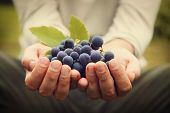 stock photo of farmers  - Grapes harvest - JPG