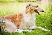 Russian wolfhound (borzoi )  is a breed of domestic dogs (Canis lupus familiaris)