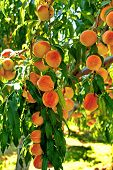 Fruit Garden. Peach Tree.