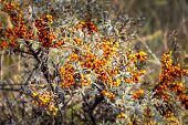 stock photo of sea-buckthorn  - Sea buckthorn bush with many orange berries - JPG