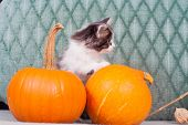 Little Halloween kitten with pumpkins