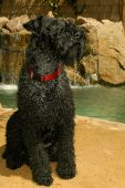 Kerry Blue Terrier Dog Outdoors Sitting by Water Fall
