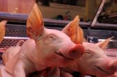 picture of farrow  - Little pigs for sale in La Boqueria market Barcelona Spain - JPG