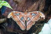 picture of tree snake  - Attacus atlas night butterfly on a tree in park