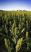 stock photo of sorghum  - sorghum field - JPG