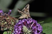 stock photo of gamma  - Silver Y Moth butterfly  - JPG