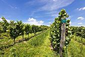 Vineyard Of Riesling Grape