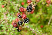 Branch Of Ripening Wild Blackberries