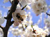 Постер, плакат: Пчела