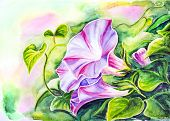 Convolvulus flowers. Watercolor painting.