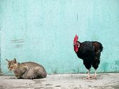 Rooster Sneaking Up On A Sleeping Cat