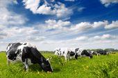 Beslag van koeien grazen In de Wei