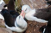 stock photo of albatross  - Courtship display of adult black browed albatross - JPG