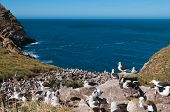 foto of albatross  - Breeding colony of albatross with sea view