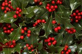 Holly berries and leaves background