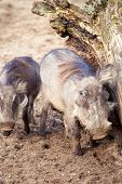 Family Warthog
