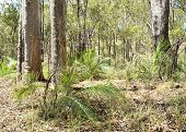 Australian Schlerophyll Eucalypt Forest With Cycads And Grasstrees
