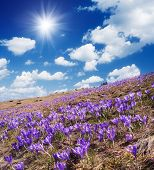 Spring landscape sunny day. Field of blooming crocus
