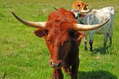 picture of texas-longhorn  - Texas Longhorn cattle in a field of green in the Umpqua Valley near Roseburg Oregon - JPG