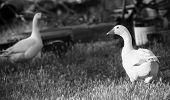 Farm Geese