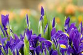 stock photo of purple iris  - Romantic purple iris spring background with beautiful bokeh - JPG