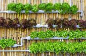 stock photo of butter-lettuce  - Organic hydroponic vegetables Vertical garden in thailand - JPG