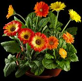 Gerbera flowers in flowerpots drop on black background
