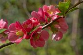 Blooming of Japanese Quince